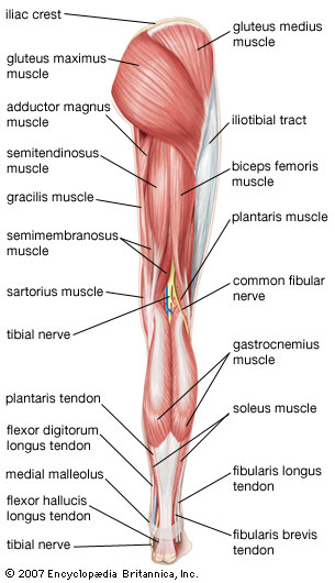 back view of female lower body muscles